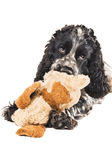 Black and white english cocker spaniel with a toy. Isolated on white Royalty Free Stock Images