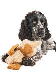 Black and white english cocker spaniel with a toy. Isolated on white Royalty Free Stock Image