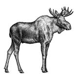 Black and white engrave isolated elk hand draw illustration Royalty Free Stock Photo