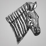 Black and white engraving style zebra head. African horse in sketch style. Vector illustration. EPS 10. Black and white engraving style zebra head. African Royalty Free Stock Photo
