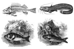 Black and white engravings of fish. Public domain. A visual acquaintance with the animals inhabiting European Russia. St. Petersburg 1876 Stock Photo