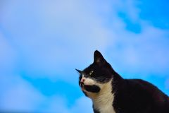 Black and white European house cat Royalty Free Stock Photo