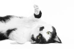 Black and white cat in the studio. Black and white European shorthair in the studio Royalty Free Stock Photography