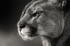 Black white face American puma, cougar stock images