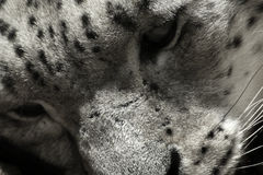 Black and white face snow leopard irbis, Panthera uncia, Uncia uncia Royalty Free Stock Images