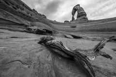Black and white fallen tree with view of Delicate Arch. Black and white fallen tree with view Delicate Arch near Moab Utah Stock Photography