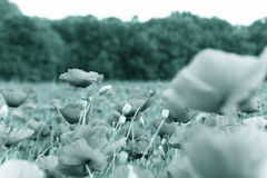 Black and white field with wild flowers Royalty Free Stock Image