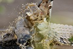 Black and White Fighting Crocodile Stock Image