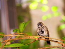 Black and white finch bird in aviary in Florida Stock Photos