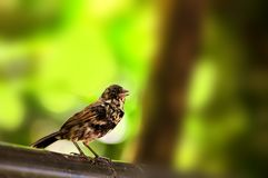 Black and white finch bird, Florida Royalty Free Stock Images