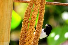 Black and white finch bird with food Stock Image