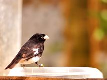 Black and white finch bird on food bowl in aviary Stock Photos