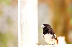 Black and white finch bird on food bowl, Florida aviary Royalty Free Stock Photo
