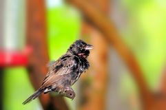 Black and white finch bird, in a South Florida aviary Royalty Free Stock Image