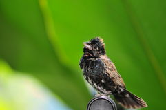 Black and white finch bird, South Florida Stock Image