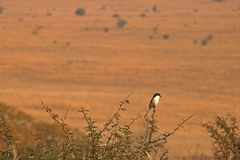 BLACK AND WHITE FISCAL SHRIKE ON A BRANCH Stock Photo