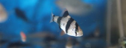 Black and white fish in the aquarium royalty free stock images