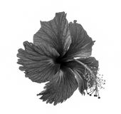 Black and white flower Royalty Free Stock Image