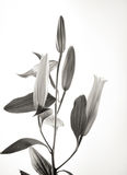 Black and white flower background Stock Photo