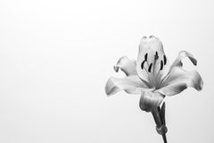 Black and White Flower. A closeup of a black and white flower against a white background Stock Photo