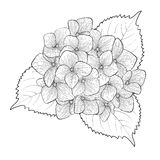 Black and white flower hydrangea isolated Royalty Free Stock Photography