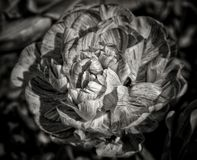 Black and white  flower. A black and white image of a flower Royalty Free Stock Photography