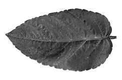 Black and white flower leaf on white background. Stock Photos