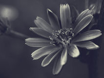 Black and white flower macro Stock Image