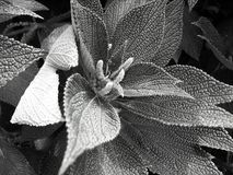 Black and white flower plant. Black, white, and grey flowering plant Royalty Free Stock Image