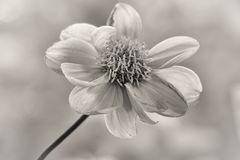 Black and White Flower Portrait Royalty Free Stock Images
