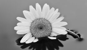 Black and White Flower in water Stock Photography
