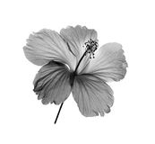 Black and white flower  on white background Stock Photos