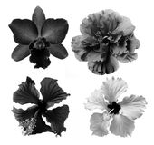 Black and white flower  on white background Royalty Free Stock Photography