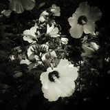 Black and white flowers royalty free stock photography