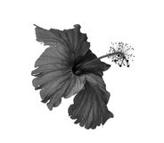 Black and white flowers. Isolated on white background Royalty Free Stock Photos