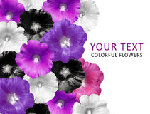 Black and white flowers isolated on black background. Mallow. Bright flowers. View top. Flowre banner Royalty Free Stock Images