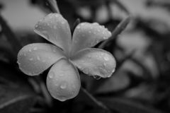 Black and white flowers after rain. royalty free stock photo