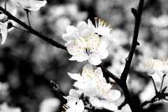Black and white flowers. Taken in Hyde Park, London in spring 2012 Royalty Free Stock Image