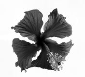 Black and white flowers  on white background. Black and white flowers isolated on white background Stock Images