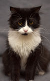 Black with white fluffy cat Royalty Free Stock Photo