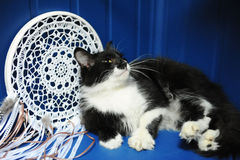 The black and white fluffy cat crouched slyly on a blue background with a white wicker catcher of dreams Royalty Free Stock Photos