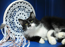 The black and white fluffy cat crouched slyly on a blue background with a white wicker catcher of dreams Stock Images
