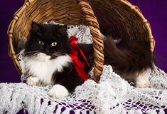 Black and white fluffy cat lies in a basket. Royalty Free Stock Image