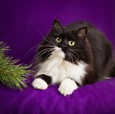 Black and white fluffy cat lies on a purple Stock Images