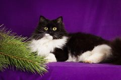 Black and white fluffy cat lies on a purple Royalty Free Stock Photography