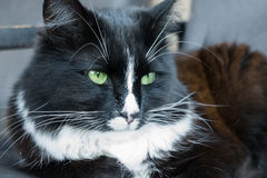 Black and white fluffy cat Royalty Free Stock Photography