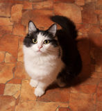Black and white fluffy cat sits on floor Stock Photos