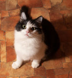 Black and white fluffy cat sits on floor Royalty Free Stock Photography