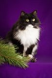 Black and white fluffy cat sitting on a purple Stock Photos