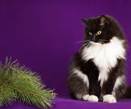 Black and white fluffy cat sitting on a purple Stock Image